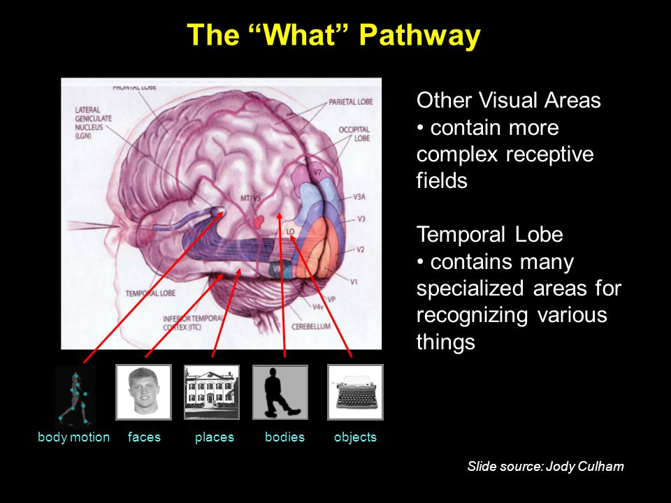 The What Pathway body motionfacesplacesbodiesobjects Other Visual Areas contain more complex receptive fields Temporal Lobe contains many specialized areas for recognizing various things Slide source: Jody Culham