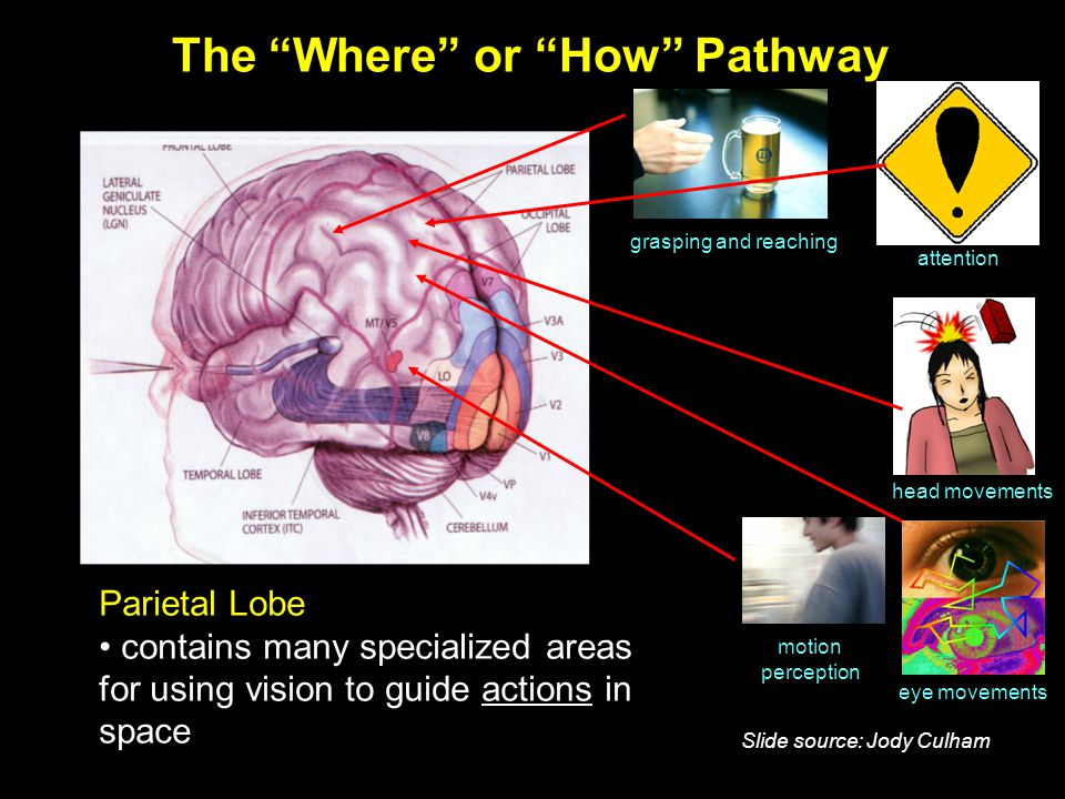 The Where or How Pathway eye movements grasping and reaching motion perception Parietal Lobe contains many specialized areas for using vision to guide actions in space head movements attention Slide source: Jody Culham