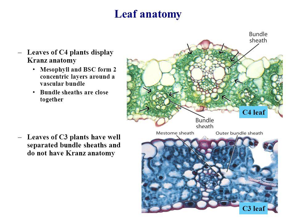 Ziemlich Anatomie Von C3 Und C4 Pflanzen Ideen - Menschliche ...