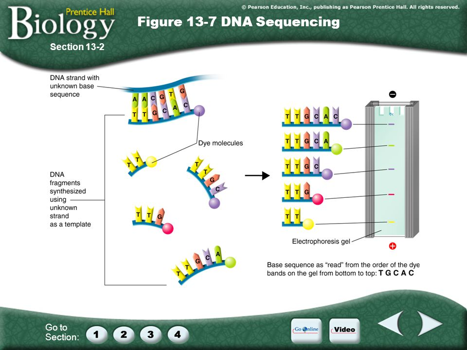 Go to Section: Section 13-2 Figure 13-7 DNA Sequencing