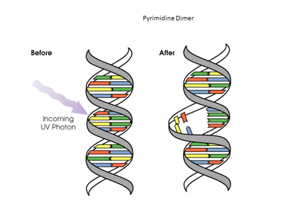 Pyrimidine Dimer