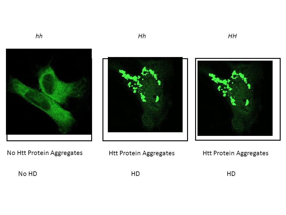 hhHhHH No Htt Protein Aggregates Htt Protein Aggregates No HDHD