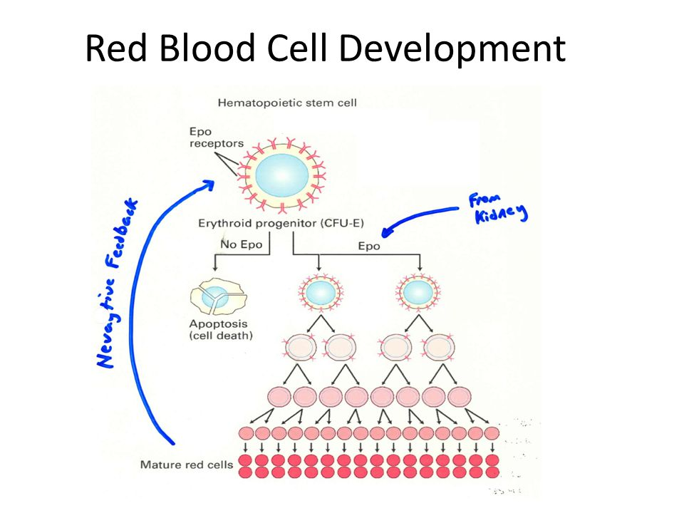 Red Blood Cell Development