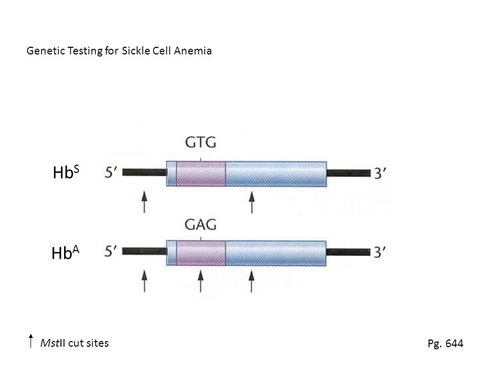 Genetic Testing for Sickle Cell Anemia Hb S Hb A Pg. 644 MstII cut sites