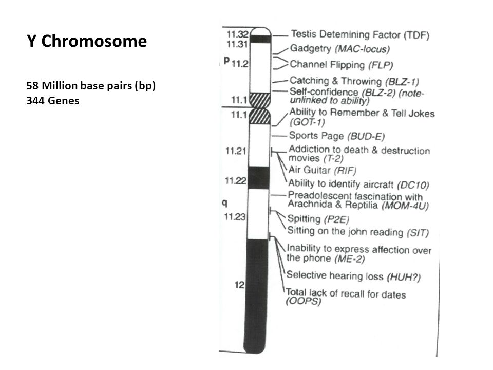 Y Chromosome 58 Million base pairs (bp) 344 Genes