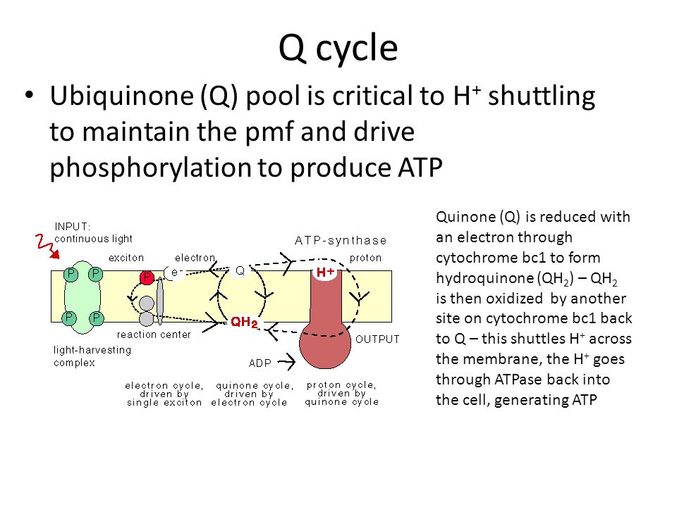 Q cycle Ubiquinone (Q) pool is critical to H + shuttling to ...