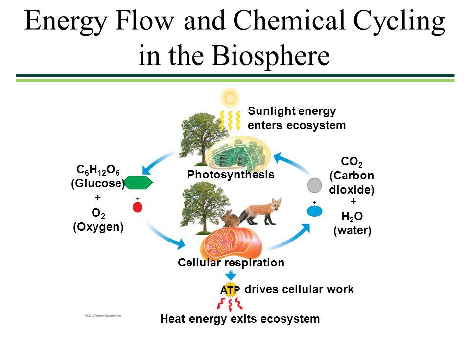 Energy Transfer Through An Ecosystem Essay