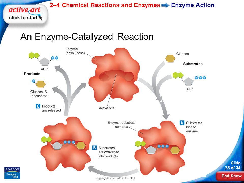 End Show 2–4 Chemical Reactions and Enzymes Slide 23 of 34 Copyright Pearson Prentice Hall Enzyme Action An Enzyme-Catalyzed Reaction