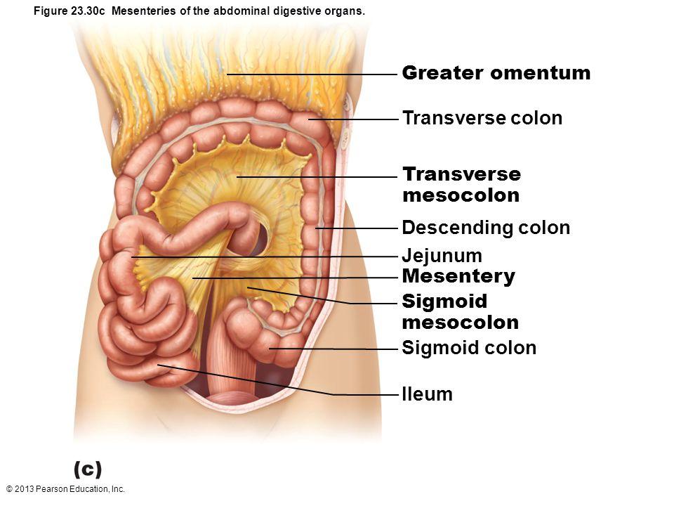 colon Transverse mesoc...