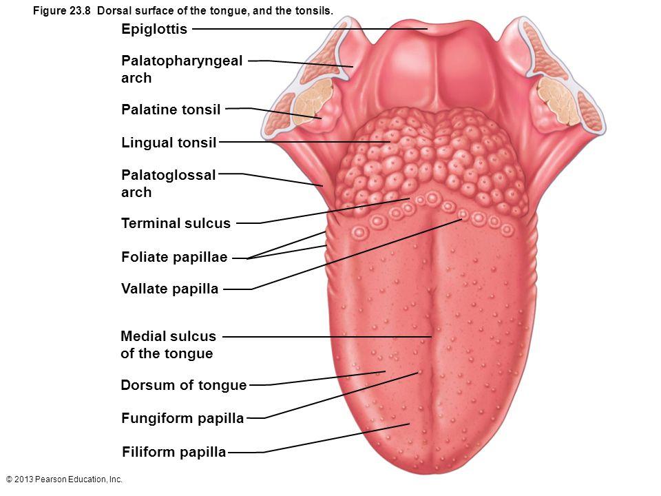 Schön Tonsil Anatomy And Physiology Galerie - Menschliche Anatomie ...