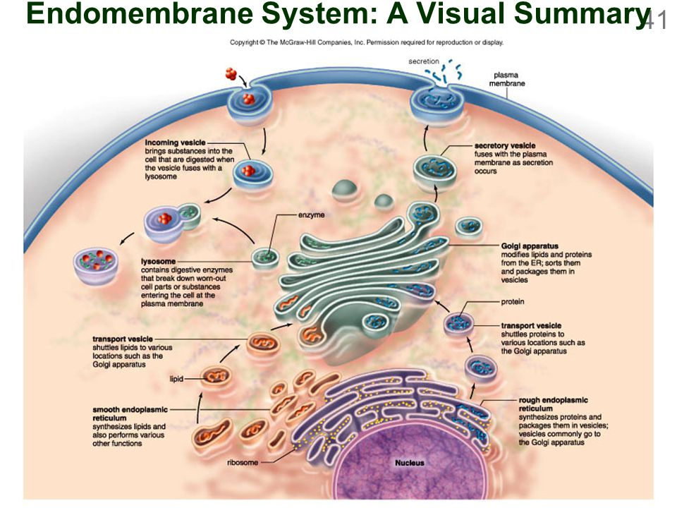 cell structure and function chapter 04 cell structure and  : endomembrane system diagram - findchart.co