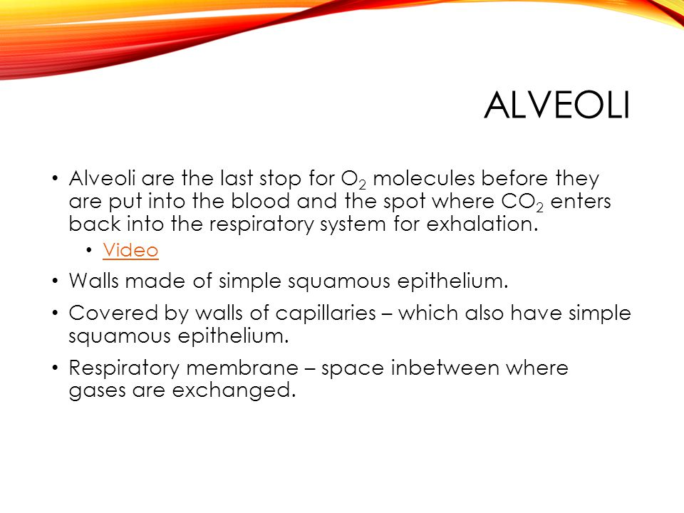 ALVEOLI Alveoli are the last stop for O 2 molecules before they are put into the blood and the spot where CO 2 enters back into the respiratory system for exhalation.