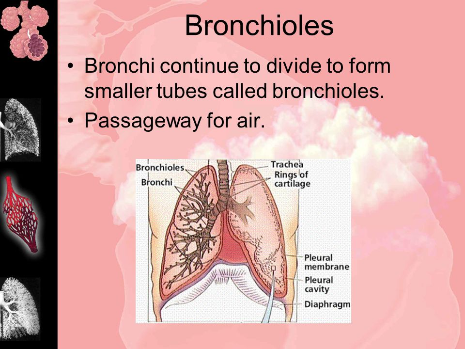 Bronchioles Bronchi continue to divide to form smaller tubes called bronchioles.