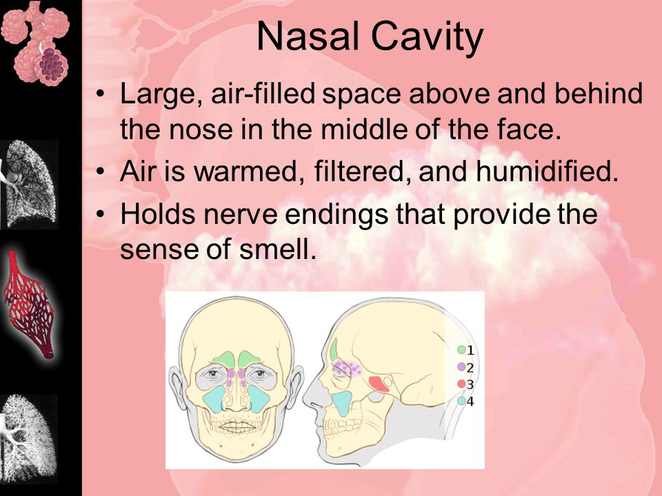 Nasal Cavity Large, air-filled space above and behind the nose in the middle of the face.