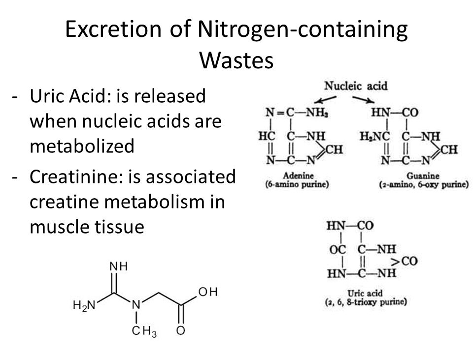 -Uric Acid: is released when nucleic acids are metabolized -Creatinine: is associated creatine metabolism in muscle tissue Excretion of Nitrogen-containing Wastes