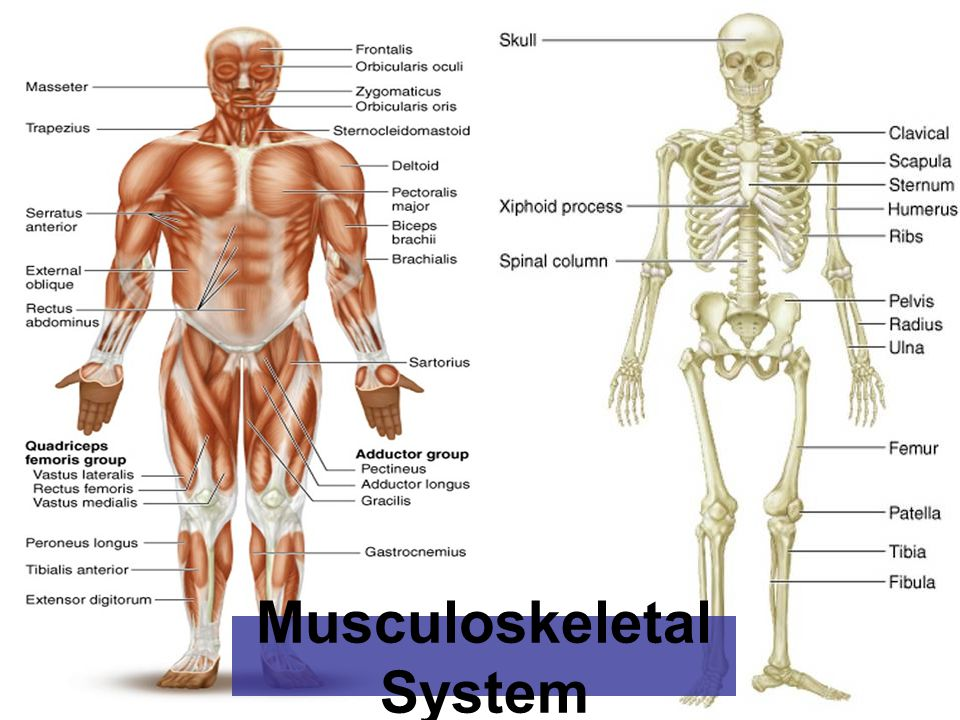 emergency care for musculoskeletal system. the skeletal system the, Human Body