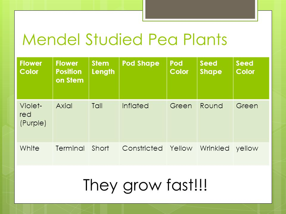 Mendel Studied Pea Plants Flower Color Flower Position on Stem Stem Length Pod ShapePod Color Seed Shape Seed Color Violet- red (Purple) AxialTallInflatedGreenRoundGreen WhiteTerminalShortConstrictedYellowWrinkledyellow They grow fast!!!