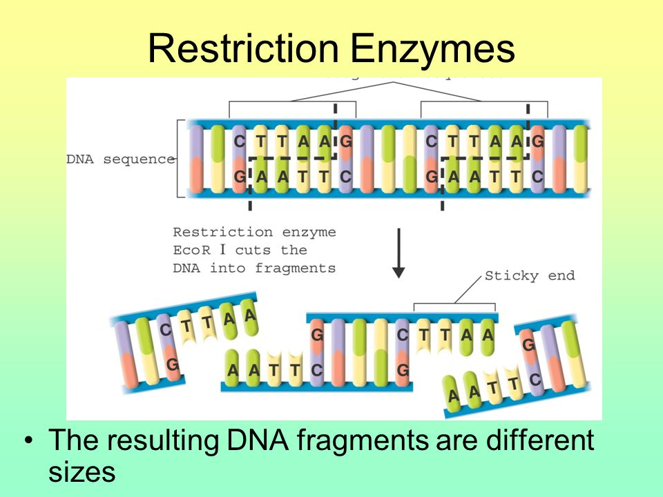 Restriction Enzymes The resulting DNA fragments are different sizes