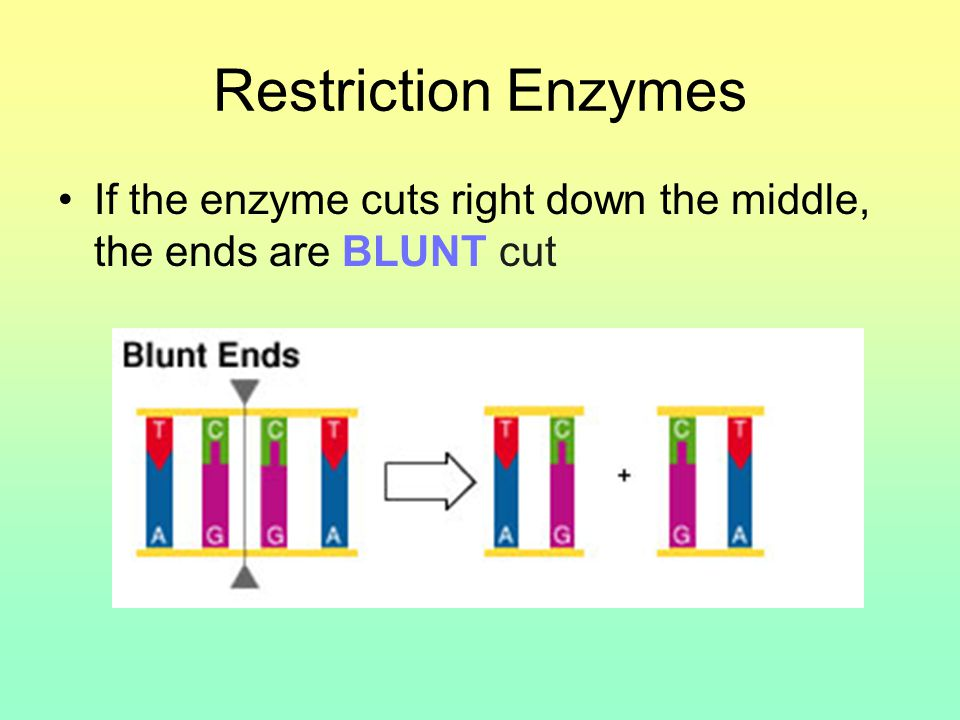 Restriction Enzymes If the enzyme cuts right down the middle, the ends are BLUNT cut