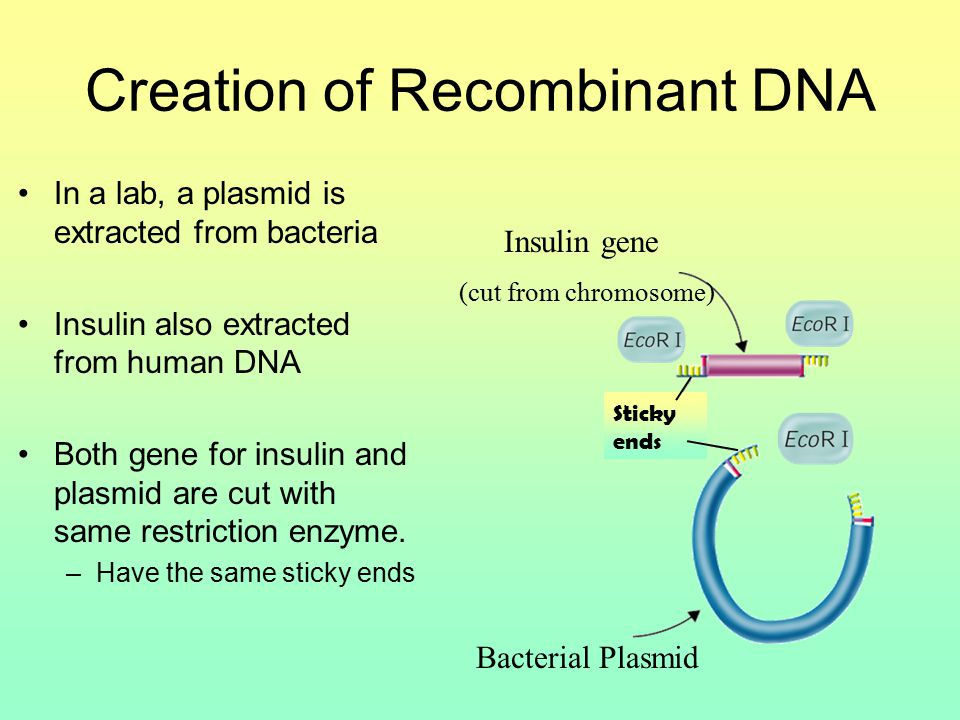 Creation of Recombinant DNA In a lab, a plasmid is extracted from bacteria Insulin also extracted from human DNA Both gene for insulin and plasmid are cut with same restriction enzyme.