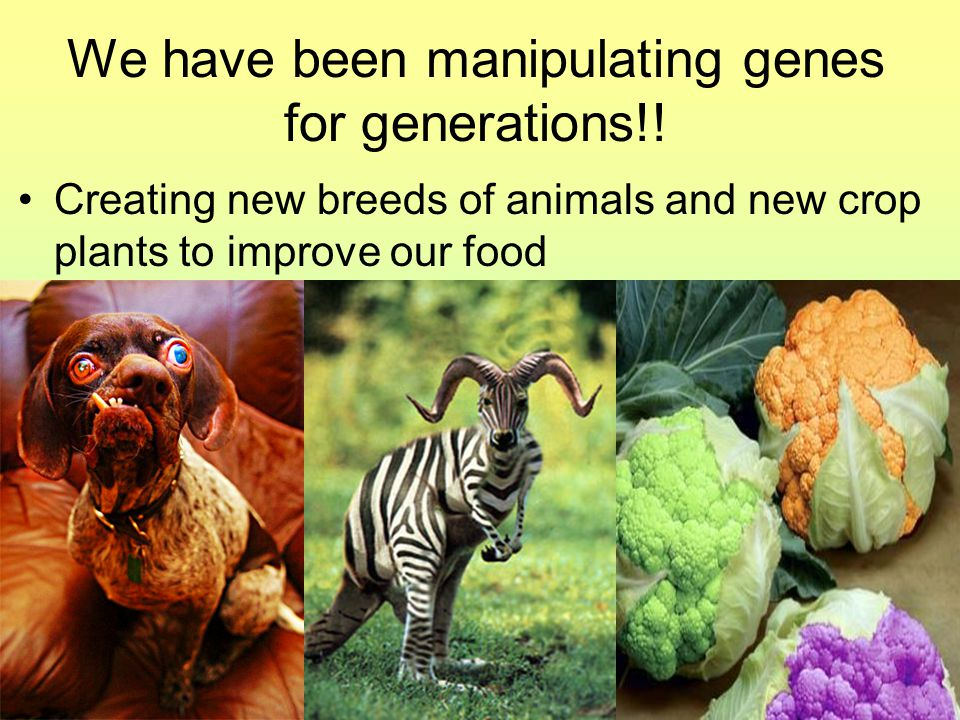 We have been manipulating genes for generations!.