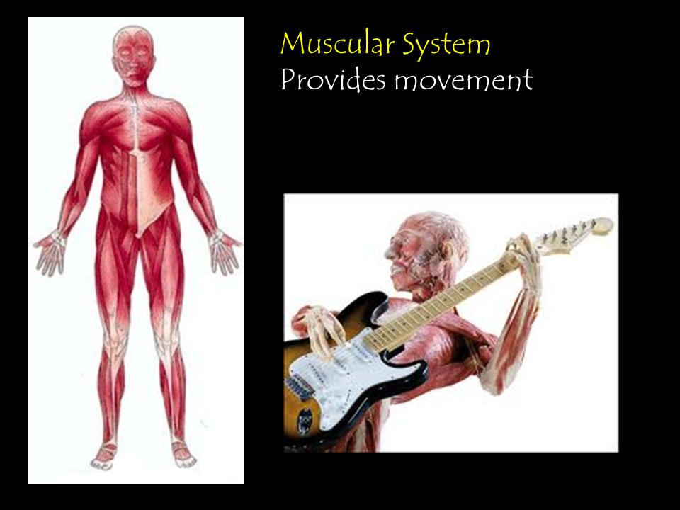 Muscular System Provides movement