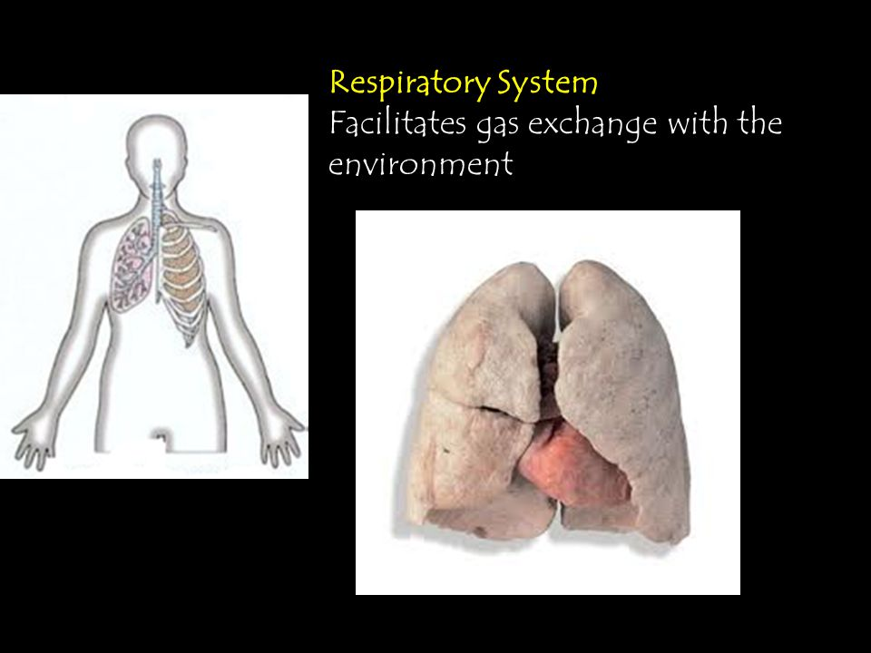 Respiratory System Facilitates gas exchange with the environment