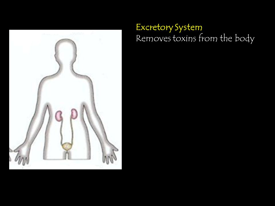 Excretory System Removes toxins from the body