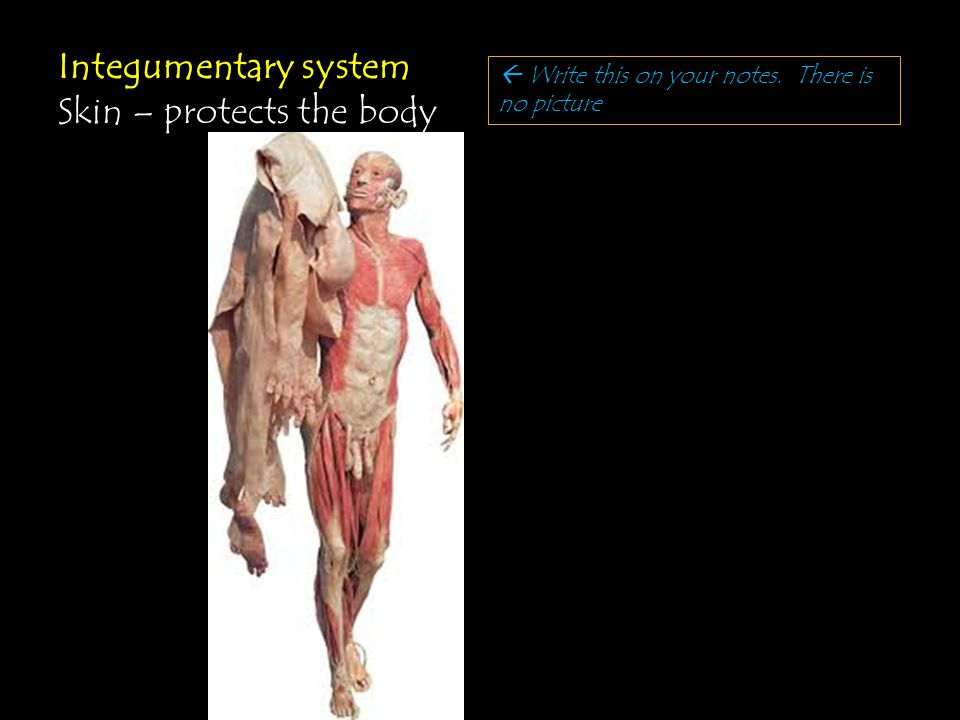 Integumentary system Skin – protects the body  Write this on your notes. There is no picture