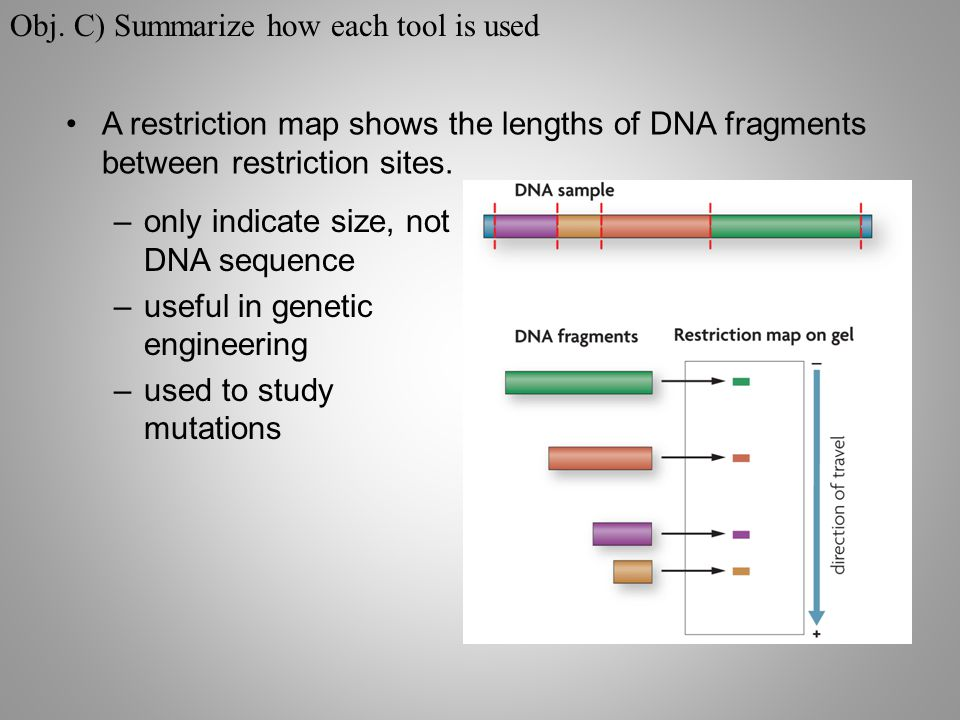 A restriction map shows the lengths of DNA fragments between restriction sites.