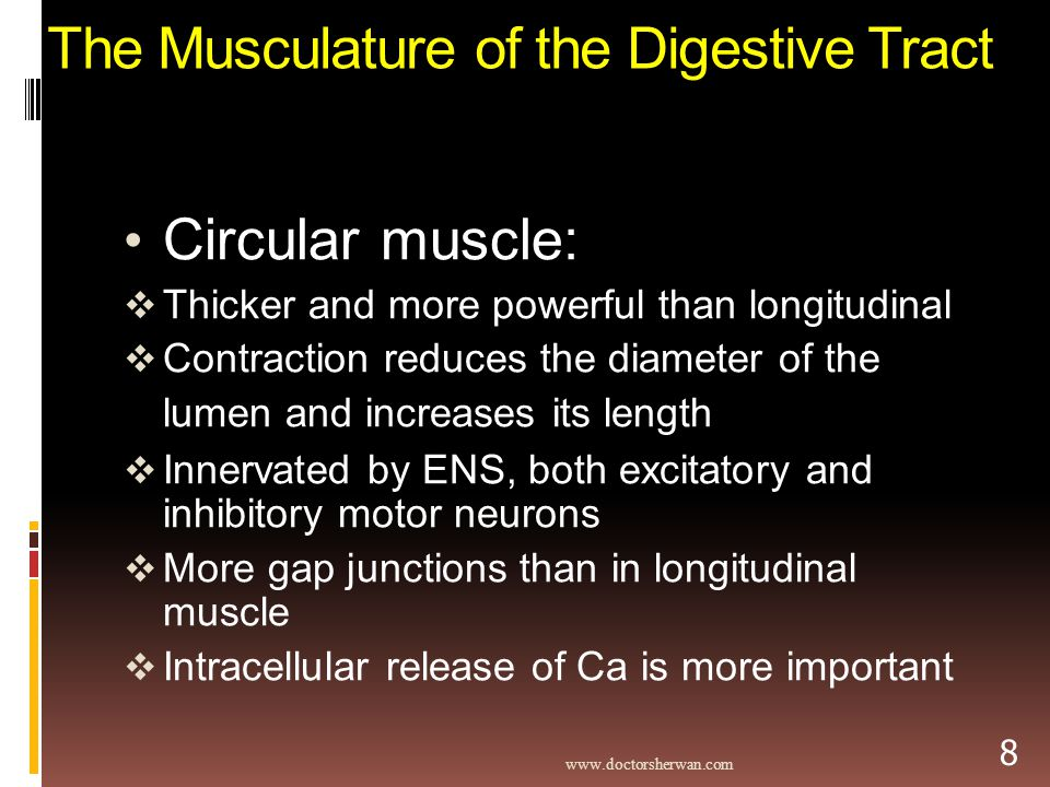 The Musculature of the Digestive Tract Circular muscle:  Thicker and more powerful than longitudinal  Contraction reduces the diameter of the lumen and increases its length  Innervated by ENS, both excitatory and inhibitory motor neurons  More gap junctions than in longitudinal muscle  Intracellular release of Ca is more important   8