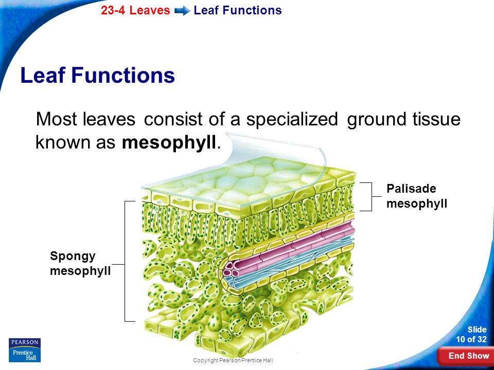 End Show 23-4 Leaves Slide 10 of 32 Copyright Pearson Prentice Hall Leaf Functions Most leaves consist of a specialized ground tissue known as mesophyll.