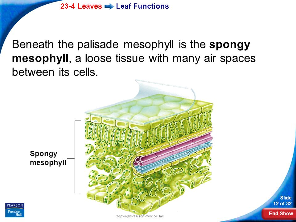 End Show 23-4 Leaves Slide 12 of 32 Copyright Pearson Prentice Hall Leaf Functions Beneath the palisade mesophyll is the spongy mesophyll, a loose tissue with many air spaces between its cells.