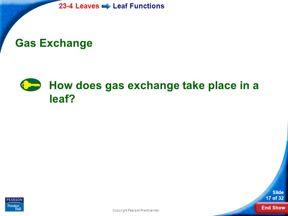 End Show 23-4 Leaves Slide 17 of 32 Copyright Pearson Prentice Hall Leaf Functions Gas Exchange How does gas exchange take place in a leaf