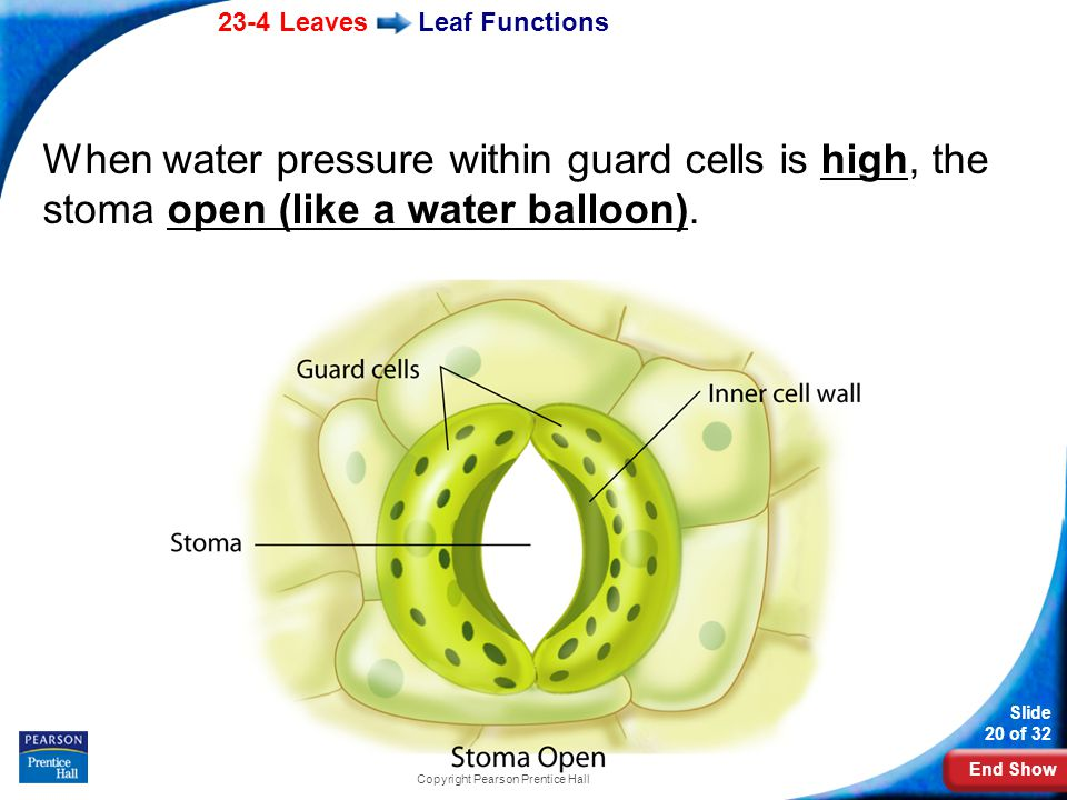 End Show 23-4 Leaves Slide 20 of 32 Copyright Pearson Prentice Hall Leaf Functions When water pressure within guard cells is high, the stoma open (like a water balloon).