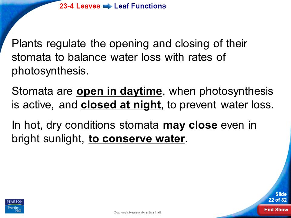 End Show 23-4 Leaves Slide 22 of 32 Copyright Pearson Prentice Hall Leaf Functions Plants regulate the opening and closing of their stomata to balance water loss with rates of photosynthesis.