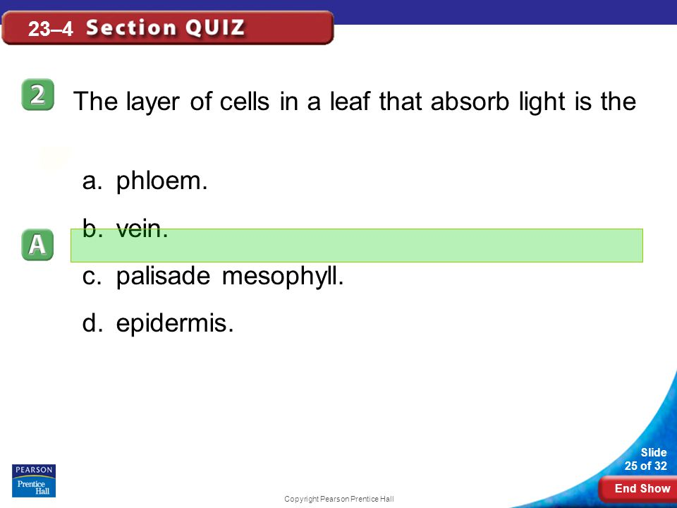 End Show Slide 25 of 32 Copyright Pearson Prentice Hall 23–4 The layer of cells in a leaf that absorb light is the a.phloem.
