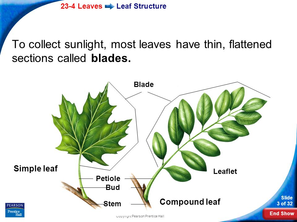End Show 23-4 Leaves Slide 3 of 32 Copyright Pearson Prentice Hall Leaf Structure To collect sunlight, most leaves have thin, flattened sections called blades.