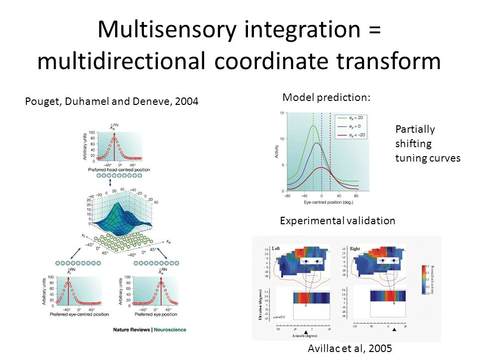 Multisensory integration = multidirectional coordinate transform Experimental validation Model prediction: Pouget, Duhamel and Deneve, 2004 Avillac et al, 2005 Partially shifting tuning curves