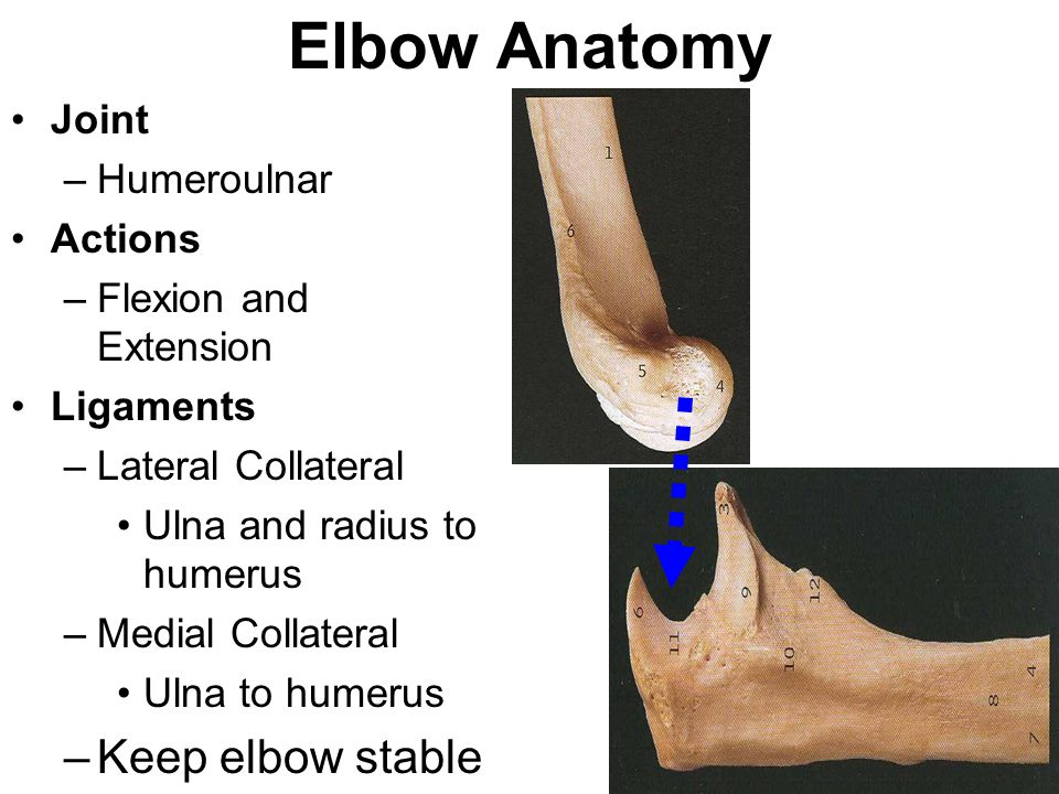 Elbow Anatomy Bones Of The Elbow Humerus Medial And Lateral