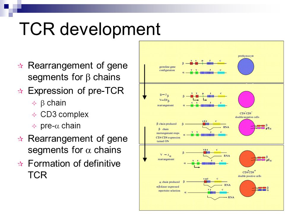 TCR development  Rearrangement of gene segments for  chains  Expression of pre-TCR   chain  CD3 complex  pre-  chain  Rearrangement of gene segments for  chains  Formation of definitive TCR