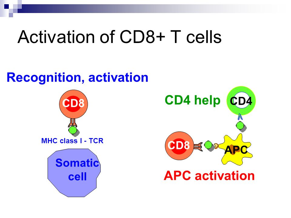 Activation of CD8+ T cells CD8 APC CD4 CD4 help APC activation CD8 Somatic cell Recognition, activation MHC class I - TCR