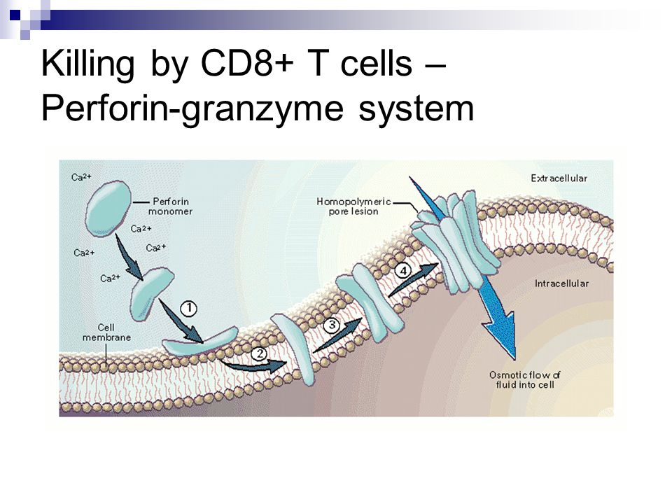 Killing by CD8+ T cells – Perforin-granzyme system