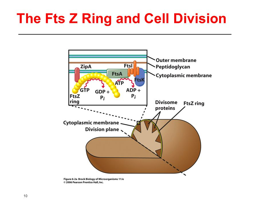10 The Fts Z Ring and Cell Division