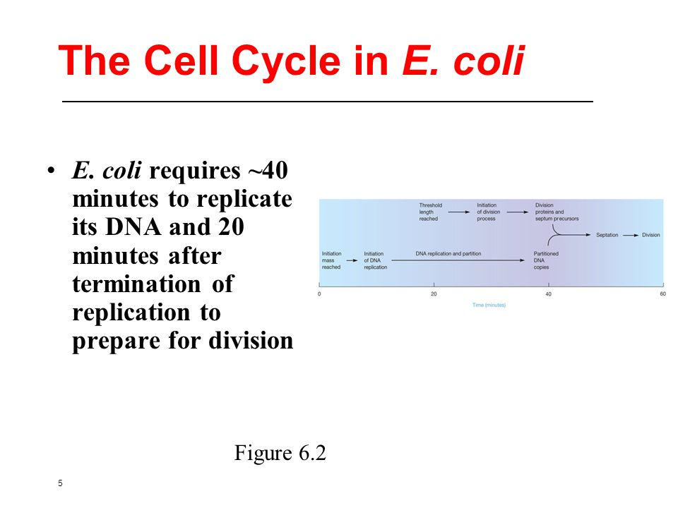 5 The Cell Cycle in E. coli E.