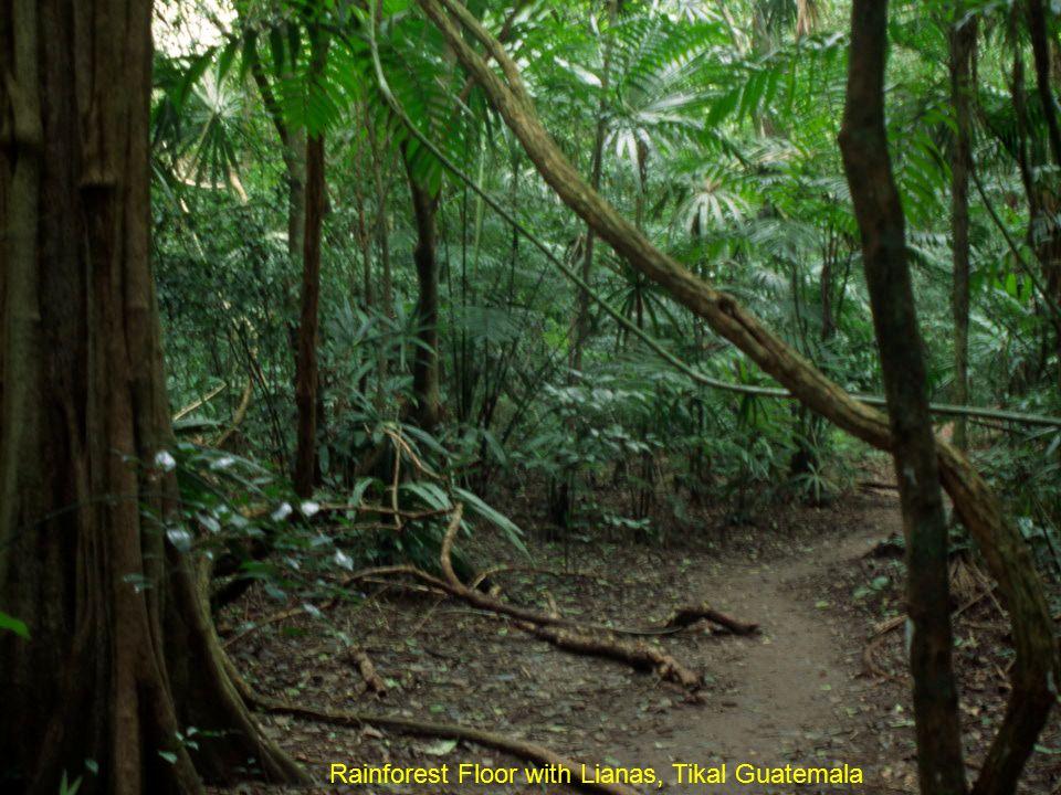 Rainforest Floor with Lianas, Tikal Guatemala