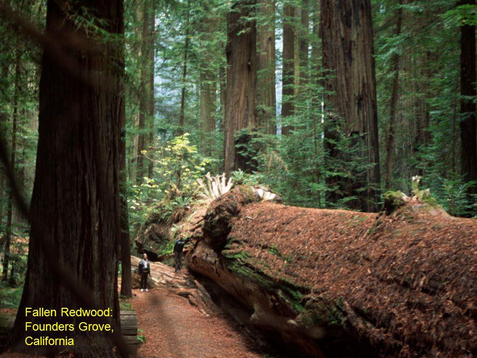 Fallen Redwood: Founders Grove, California