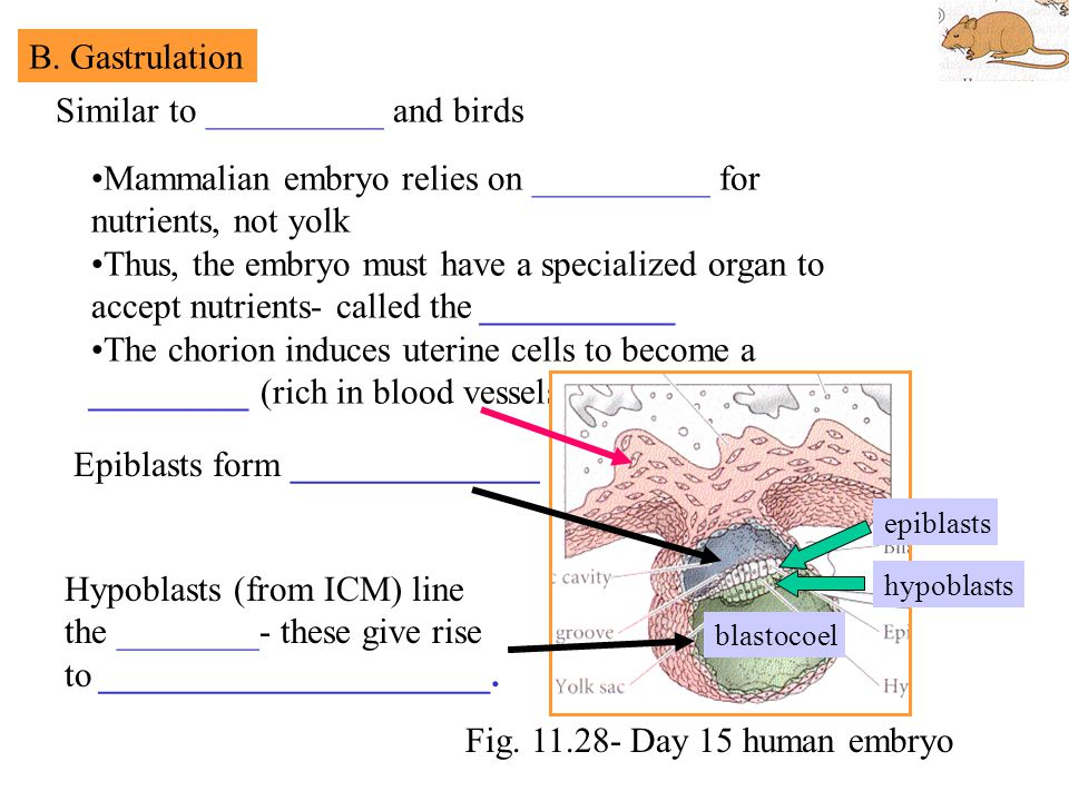 Similar to __________ and birds Mammalian embryo relies on __________ for nutrients, not yolk Thus, the embryo must have a specialized organ to accept nutrients- called the ___________ The chorion induces uterine cells to become a _________ (rich in blood vessels) B.