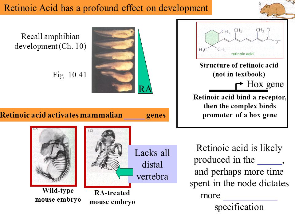 Retinoic Acid has a profound effect on development Structure of retinoic acid (not in textbook) Fig.