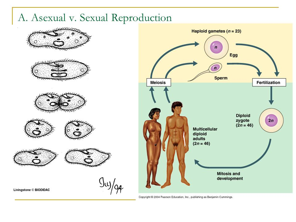 Размножение секс